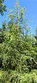 Larix decidua(europaea).jpg