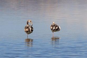 Larnaca Salt Lake - Flamingos on the lake