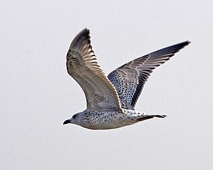 Vega gull - Vega or Mongolian gull in Beidaihe, China.  1st-winter/juvenile.