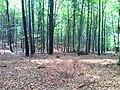 Las bukowy - panoramio (2).jpg