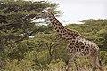 Last giraffes (4432055984).jpg