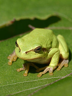 Tree frog any species of frog that spends a major portion of its lifespan in trees