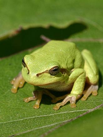 Hyla - European tree frog, Hyla arborea