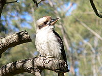 Laughing Kookaburra 2.JPG