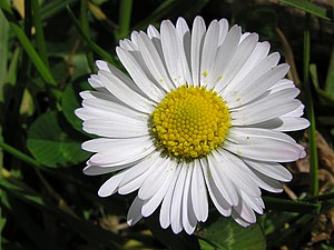 English: Daisy (Bellis perennis), Wellington, ...