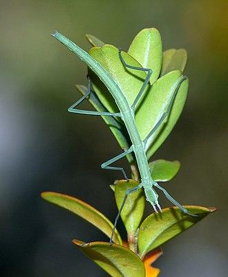 Phasmatodea - Leptynia hispanica