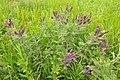 Leadplant (Amorpha canescens) on Sand Lake WMD 01 (13857585943).jpg