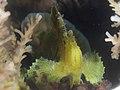 Leaf scorpionfish (Taenianotus triacanthus) (32070034710).jpg