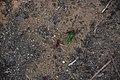 Leafcutter ants in Brazil.JPG