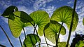 Leaves of Centella Asiatica against the sky (wide).jpg