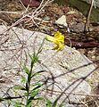 Lemon Lily. Lilium parryi - Flickr - gailhampshire.jpg