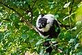 Lemur (24169093498).jpg
