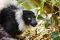 Lemur (26618826427).jpg