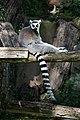 Lemur catta 2018.jpg