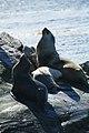 Leones marinos - panoramio.jpg