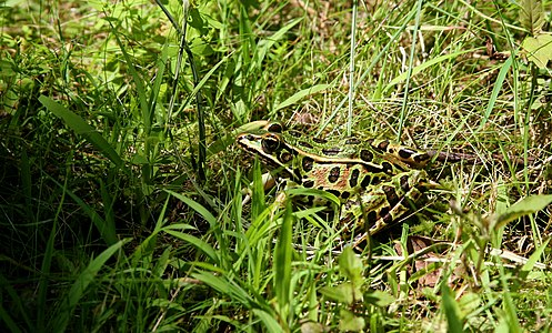 Leopard frog (Lithobates pipiens) in green surrounding. This frog easily camouflaged in green surrounding.