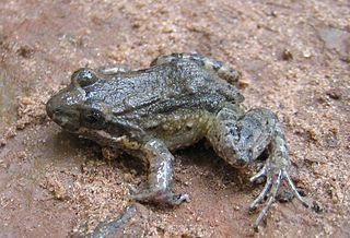 <i>Leptodactylus podicipinus</i> Species of amphibian
