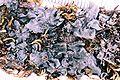 Leptogium cyanescens-2.jpg