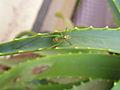 Leptophyes punctatissima (Zartschrecke).jpg