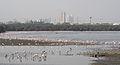 Lesser Flamingos at Sewri Mudflats, Mumbai by Raju Kasambe.JPG