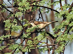 Lesser Whitethroat ( Sylvia curruca) at Bharatpur I IMG 5246.jpg
