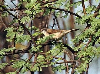 Lesser whitethroat -  at Keoladeo National Park, Bharatpur, Rajasthan, India.