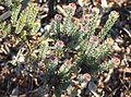 Leucadendron levisanus - critically endangered Cape Flats Cone Bush - Cape Town.jpg