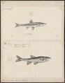 Leuciscus phoxinus - 1700-1880 - Print - Iconographia Zoologica - Special Collections University of Amsterdam - UBA01 IZ14900061.tif