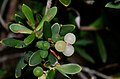 Leucopogon parviflorus 90684450.jpg