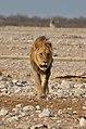 Lev v národním parku Etosha - Namibie - panoramio (1).jpg