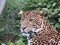 Levhart jávský v Zoo Praha 002.jpg