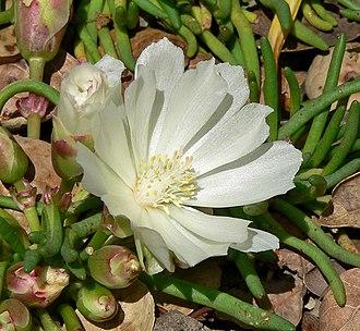 Bitterroot - Flower in University of California Botanical Garden