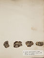 Lichenes Helvetici I II 1842 005.jpg