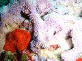Lilac sponge at Partridge Point P7190554.JPG