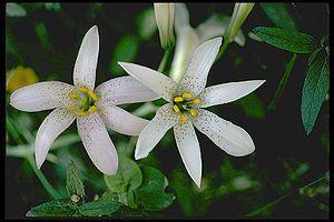 Lilium rubescens - Image: Lilium rubescens edit