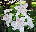 Lilium sp. (true lilies) 2 (49045667316).jpg