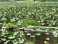 Lily Lake (15058464035).jpg