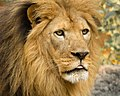 Lion (165938297).jpeg