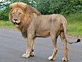Lion (Panthera leo) (6043117194).jpg