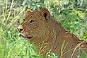 Lion (Panthera leo) female Chobe.jpg
