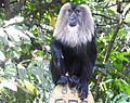 Lion tailed macaque from Nelliyampathy.jpg