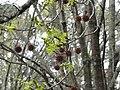 Liquidambar styraciflua early spring flowers and winter fruits.jpg