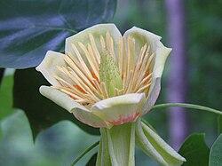 Liriodendron tulipifera518985320. jpg