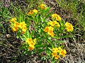 Lithospermum canescens 1 (5097923204).jpg