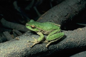 Description de l'image Litoria spenceri01.jpg.
