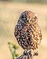 Little Owl - Flickr - Andy Morffew.jpg