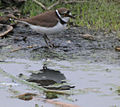 Little Ringed Plover (Charadrius dubius) in Hyderabad, AP W IMG 2392.jpg