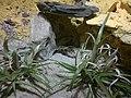 Lizard (7822211160).jpg