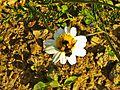 Località Fonte al Romito-vespa su fiore 2.jpg