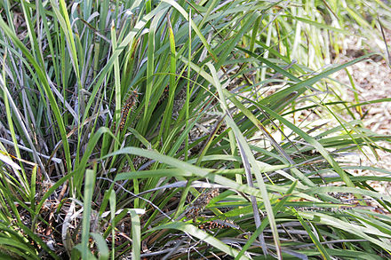 Lomandra, a plant used by Aboriginal Australians for weaving Lomandra textiles.jpg